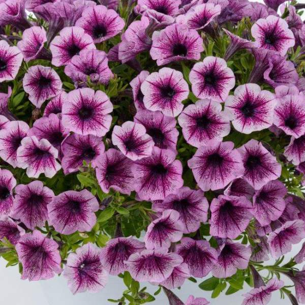 Petunia Littletunia Pink Splash - Rooted Cutting Liner