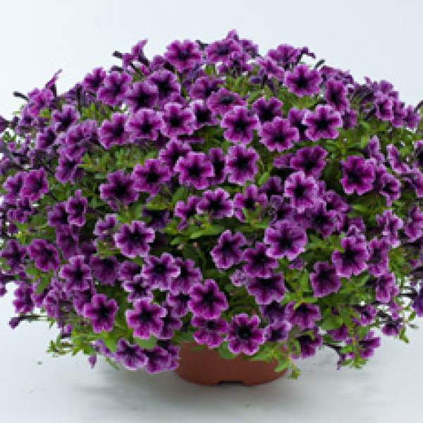 Petunia Littletunia Pink Vein - Rooted Cutting Liner