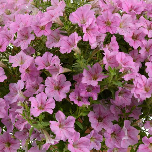 Petunia Littletunia Pink - Rooted Cutting Liner