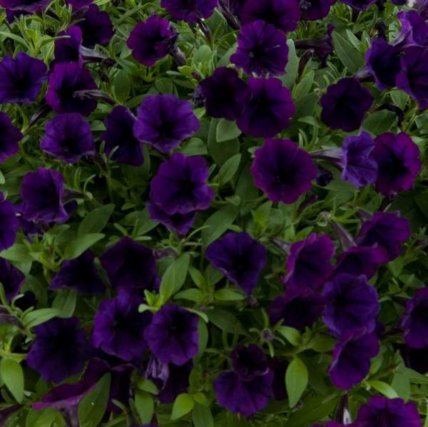 Petunia Littletunia Purple Blue - Rooted Cutting Liner