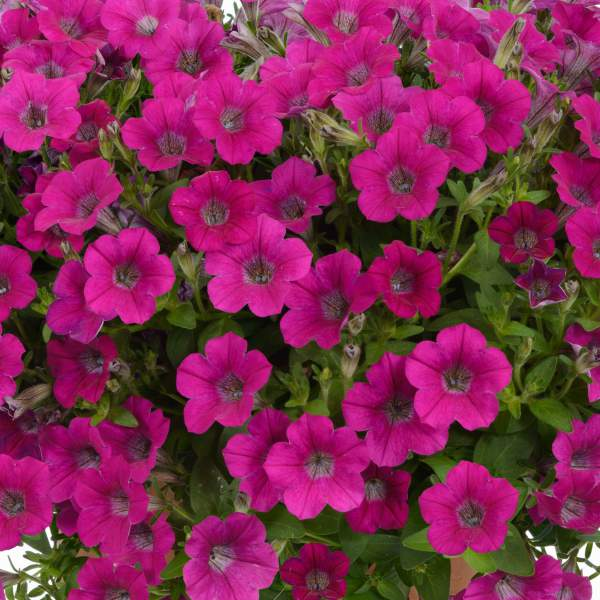 Petunia Littletunia Rose - Rooted Cutting Liner