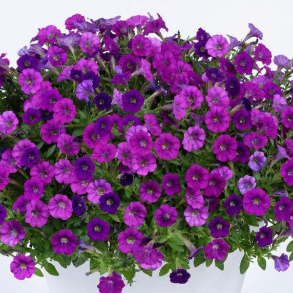 Petunia Littletunia Violet - Rooted Cutting Liner