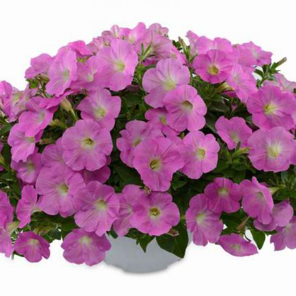 Petunia Ray Baroque Pink - Rooted Cutting Liner