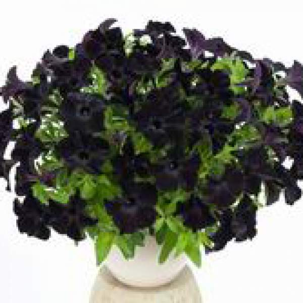 Petunia Ray Black - Rooted Cutting Liner