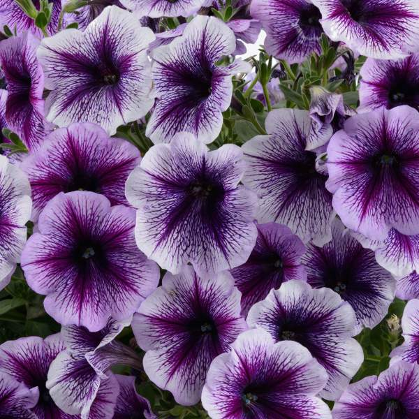 Petunia Ray Purple Vein - Rooted Cutting Liner