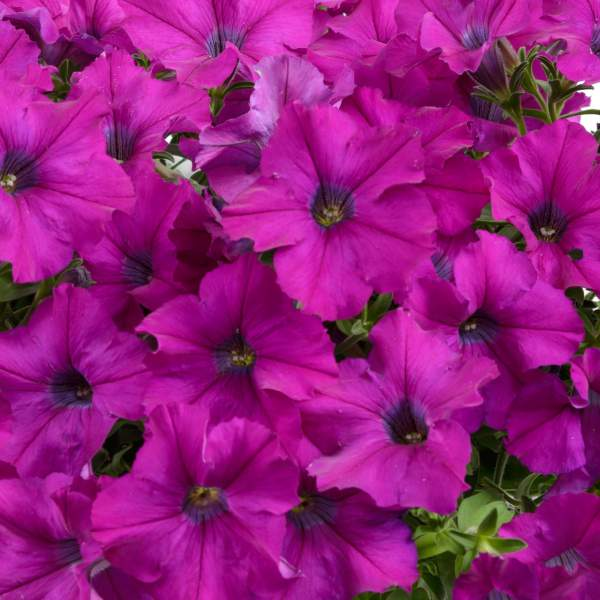 Petunia Ray Purple - Rooted Cutting Liner