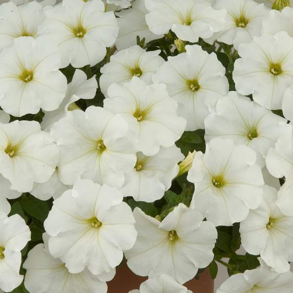 Petunia Ray White - Rooted Cutting Liner