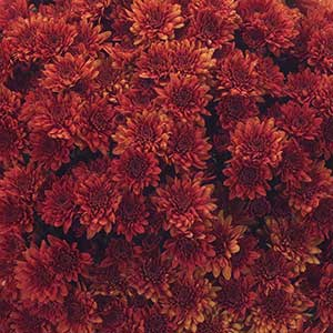 Belgian Mum Pizarra Red - Rooted Cutting Liner