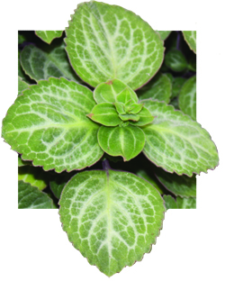 Plectranthus Swedish Ivy Emerald Lace - Unrooted Cuttings