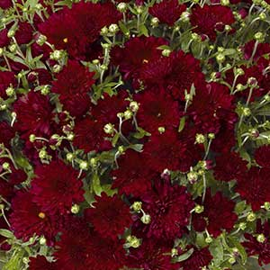Belgian Mum Pobo Red - Rooted Cutting Liner