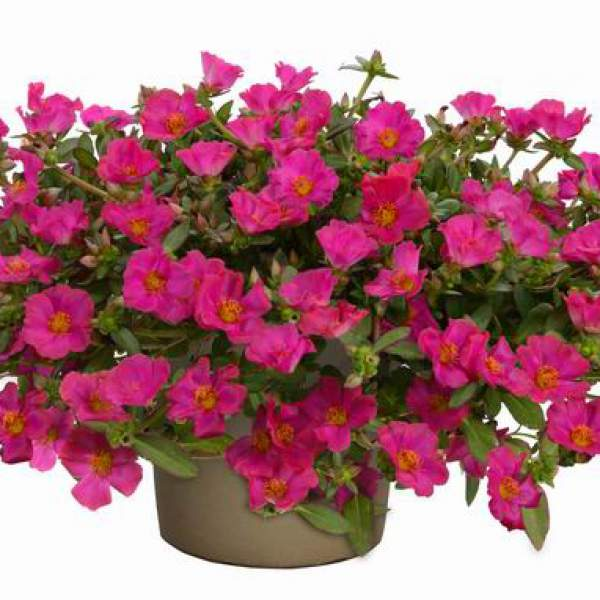 Portulaca Pazzaz Fuchsia - Rooted Cutting Liner