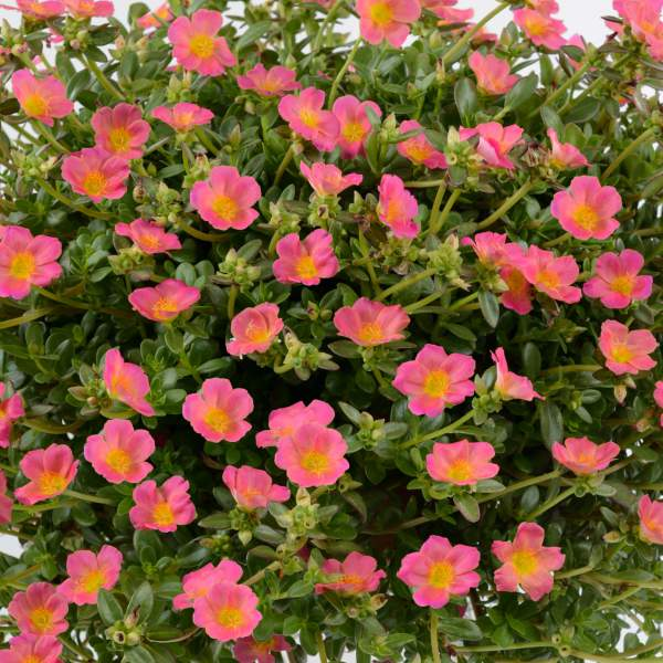 Portulaca Pazzaz Pink Glow - Rooted Cutting Liner