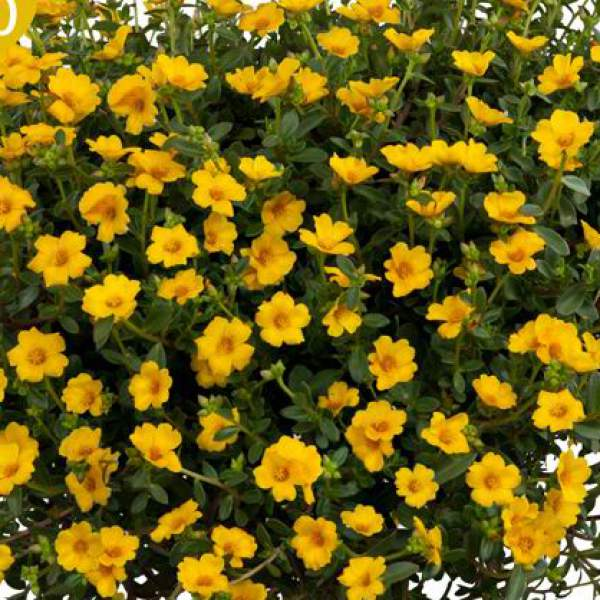 Image Of Portulaca Pazzaz Vivid Yellow