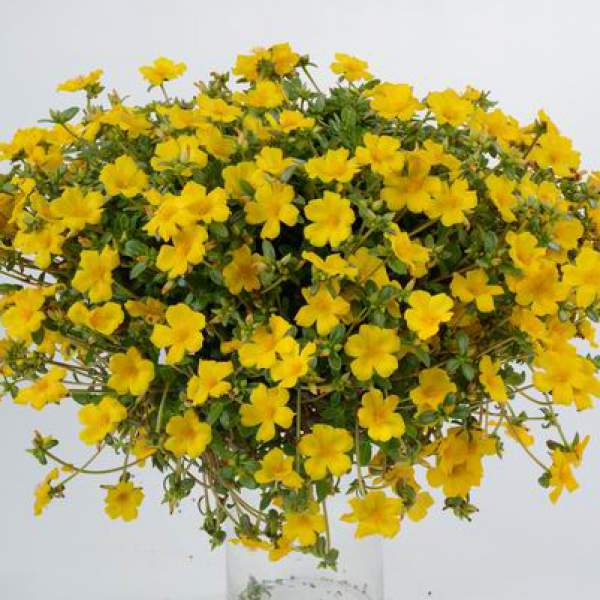 Portulaca Pazzaz Yellow Imp - Rooted Cutting Liner
