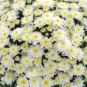 Belgian Mum Prima White - Rooted Cutting Liner