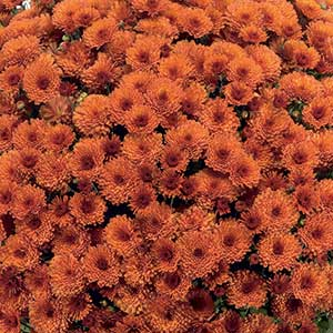 Belgian Mum Rhinos Orange - Rooted Cutting Liner