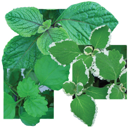 Image Of Plectranthus Swedish Ivy Assorted