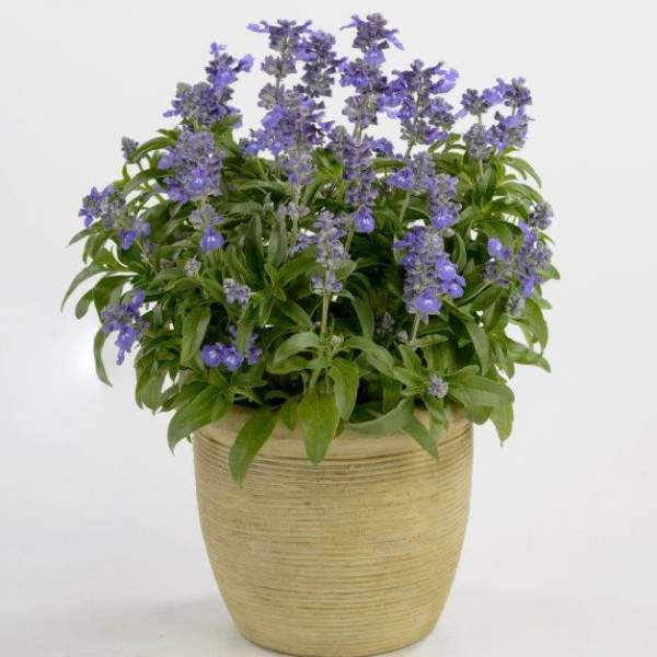 Herb Salvia Sallyfun Bicolor Blue - Rooted Cutting Liner