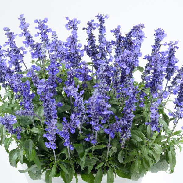 Herb Salvia Sallyfun Deep Ocean - Rooted Cutting Liner