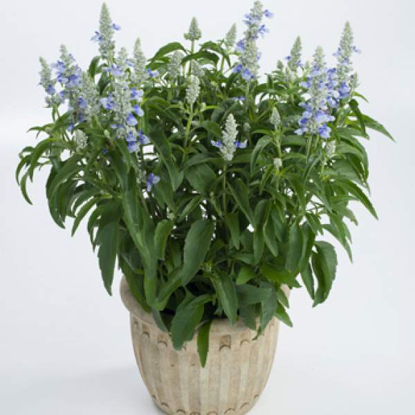 Herb Salvia Sallyfun Sky Blue - Rooted Cutting Liner