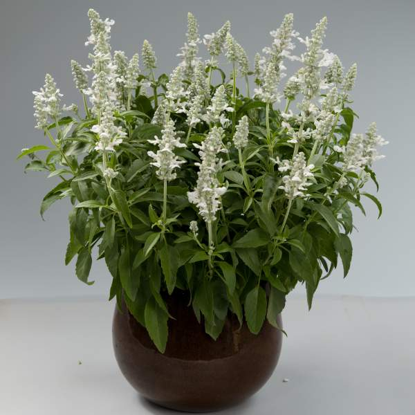 Herb Salvia Sallyfun Snow White