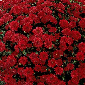 Belgian Mum Savona Red - Rooted Cutting Liner