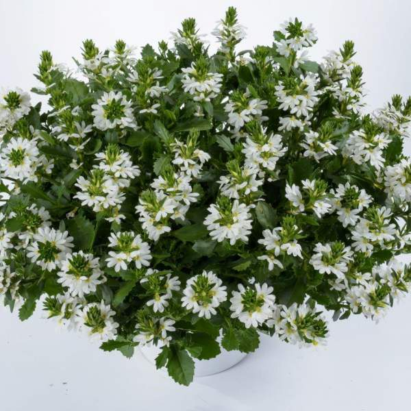 Image Of Scaevola White Touch