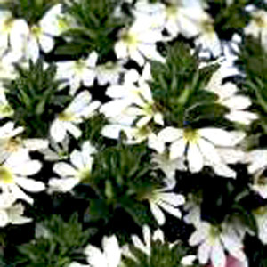 Image Of Scaevola Top Pot White