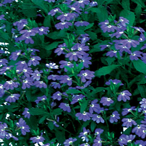 Image Of Scaevola Blue Fan Flower