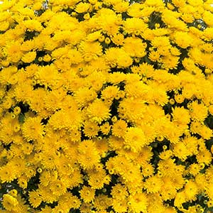 Belgian Mum Sinelli Yellow - Rooted Cutting Liner