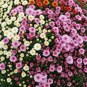 Image Of Belgian Mum Assorted Early October