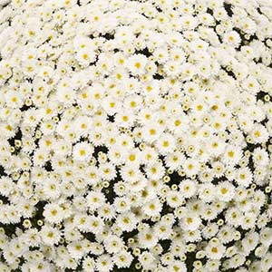 Belgian Mum Staviski White - Rooted Cutting Liner