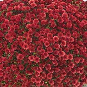 Image Of Belgian Mum Staviski Red