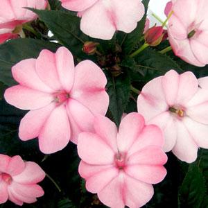 Image Of Impatiens Sunpatiens Compact Blush Pink