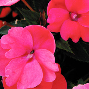 Image Of Impatiens Sunpatiens Compact Deep Rose