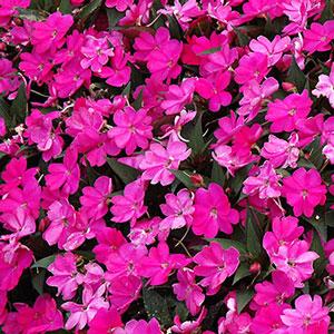 Image Of Impatiens Sunpatiens Compact Lilac