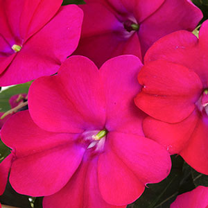 Image Of Impatiens Sunpatiens Compact Royal Magenta