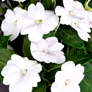 New Guinea Impatiens Sunpatiens Compact White Improved - Rooted Cutting Liner
