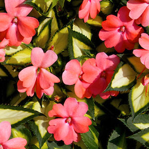 Image Of Impatiens Sunpatiens Spreading Salmon