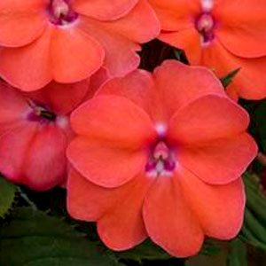 Image Of Impatiens Sunpatiens Vigorous  Shell Pink
