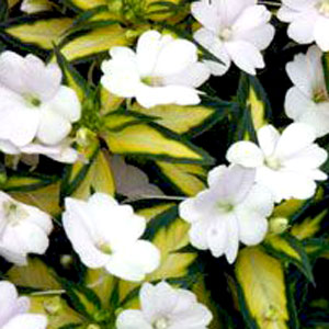 Image Of Impatiens Sunpatiens Vigorous  White