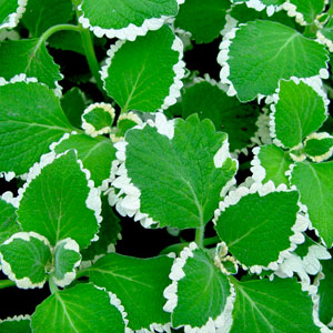 Plectranthus Upright Ciliatus White - Rooted Cutting Liner