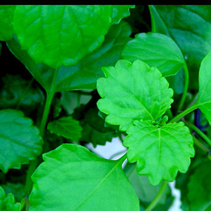 Image Of Plectranthus Swedish Ivy Green