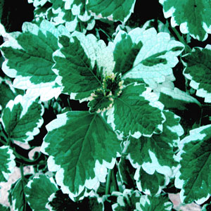 Image Of Plectranthus Swedish Ivy Mint