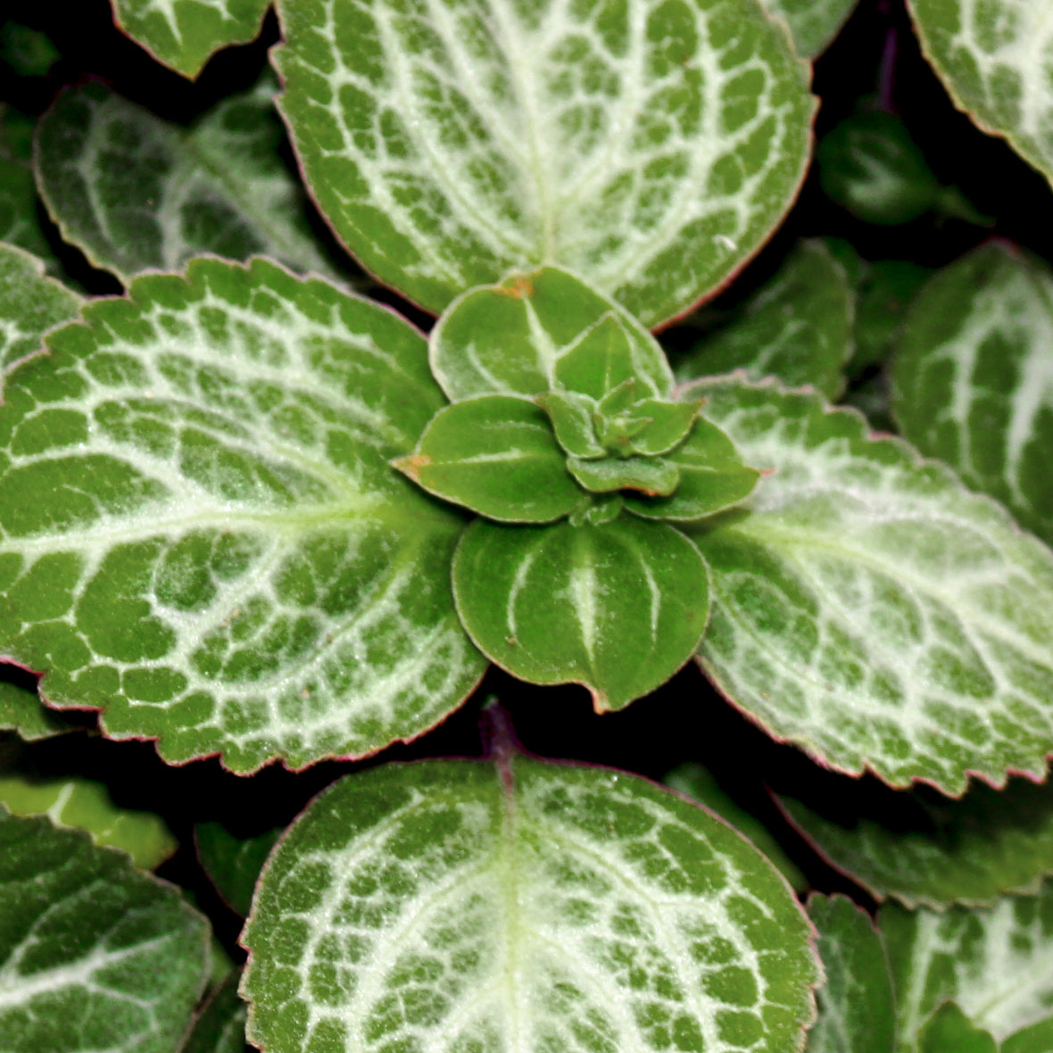 Plectranthus Swedish Ivy Emerald Lace - Rooted Cutting Liner