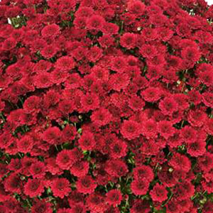Belgian Mum Thera Red - Rooted Cutting Liner