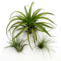 Image Of Tillandsia Assorted