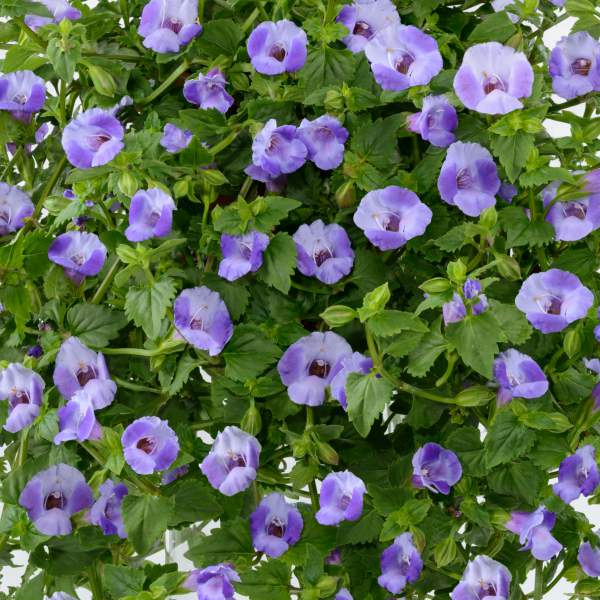 Image Of Torenia Moon Blue