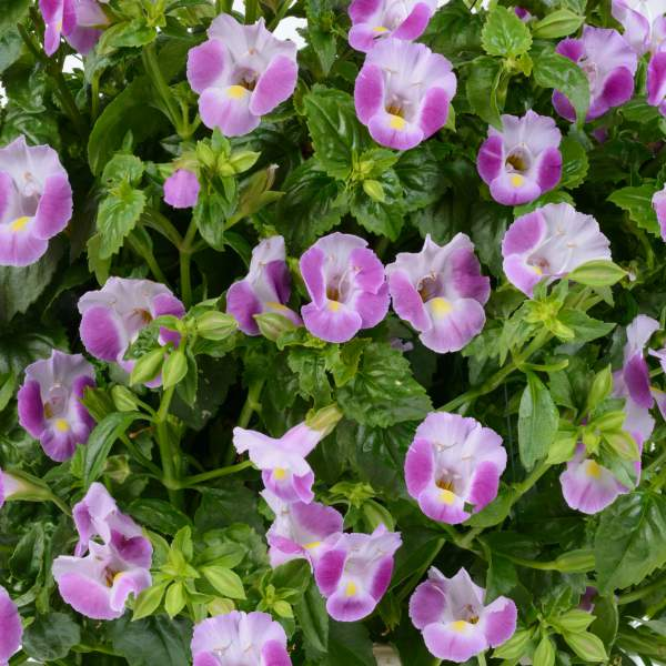 Image Of Torenia Moon Rose
