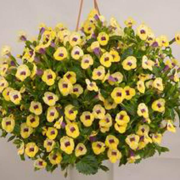 Image Of Torenia Moon Yellow